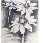 Daisies,  1986, 26 x 20 inches, graphite on rives lightweight